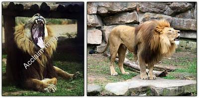 Lionyawnandroar