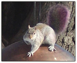 Purpletail_squirrel3
