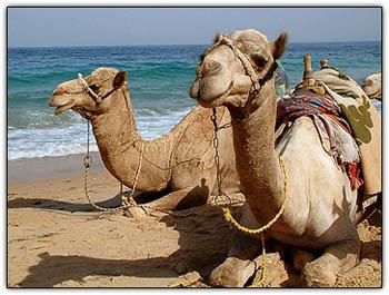 Camelsbeach
