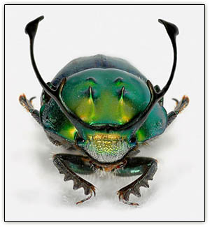 Beetle_weaponry2