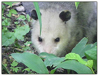Possum_leaves