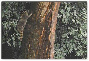 Raccoon_kit