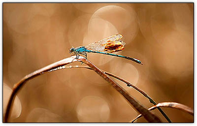 Dragonfly_oil