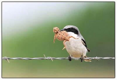Bird_hornedtoad