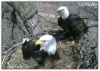 Eagle_parents4