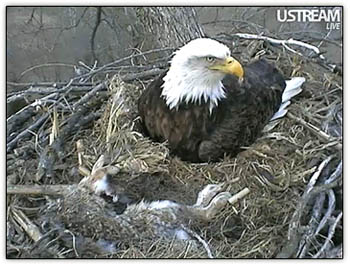 Eagle_prey_nest