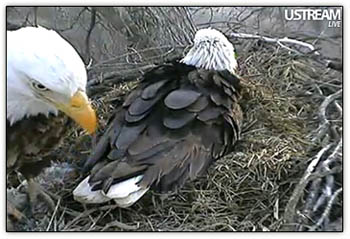 Eagle_parents3