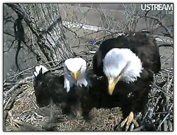 Eagle_parents6