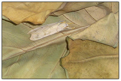 Leaf_moth2