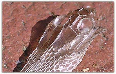 Snakeskin_2