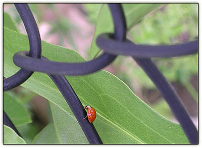 Ladybugchainlink2
