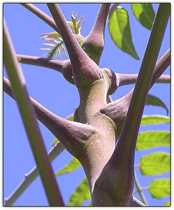 Ailanthusdance