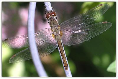 Dragonflysedum