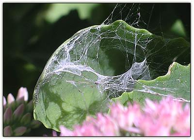 Sedumfunnelweb