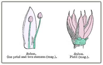 Sedumfloralparts3