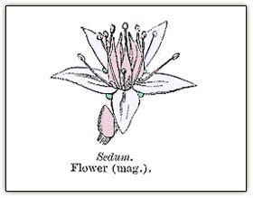 Sedumfloralparts4