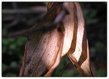 Autumndaylily