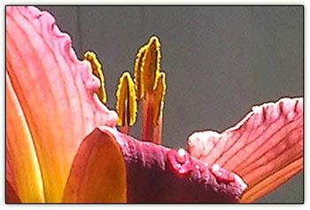 Dayliliesglory