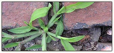 Crabgrass2