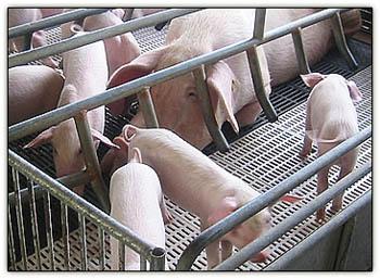 Pigsinthepiggery2