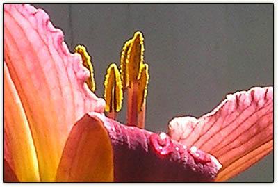 Daylilies22