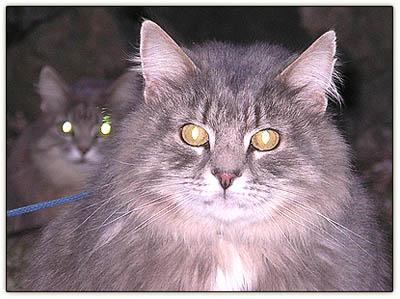 Angrycats