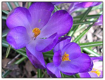 Purplecrocus