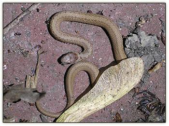 Snake_and_samara2