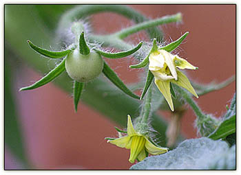 Tomato_flower_fruit