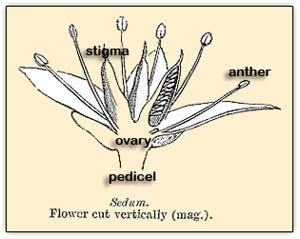 Sedumanatomy