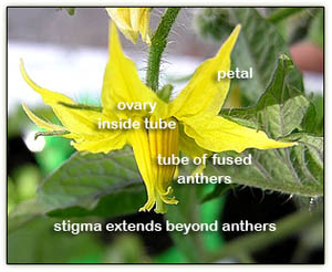 Tomato_flower_parts6