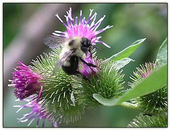 Beelike_flower_fly