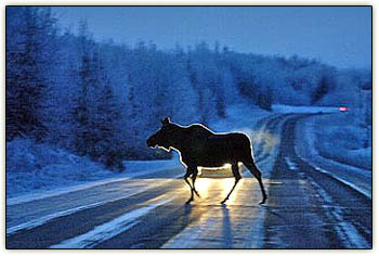 Moose_headlights2