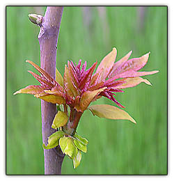 Ailanthusbloom