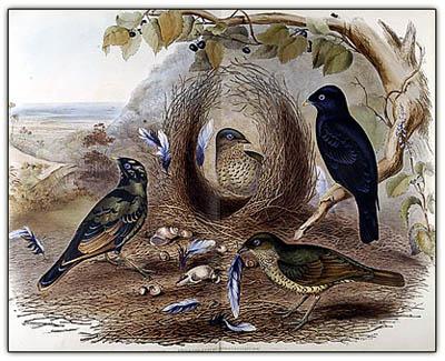Bowerbirds_1