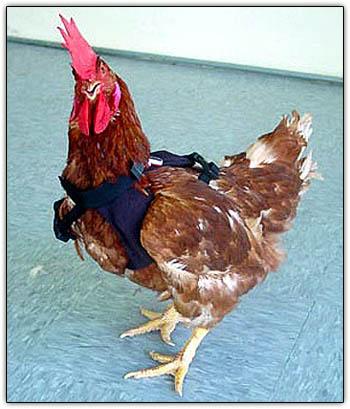 Chickenhugs