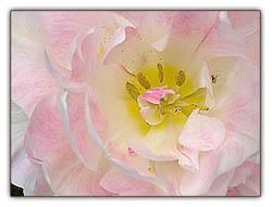 Doublefloweringtulip_1