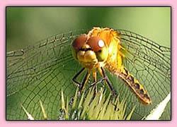Dragonflyeyepink