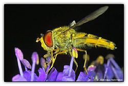 Foveonfly