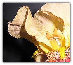Irisbeauty