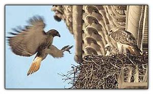 Manhattanhawks