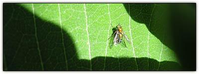 Milkweedfly