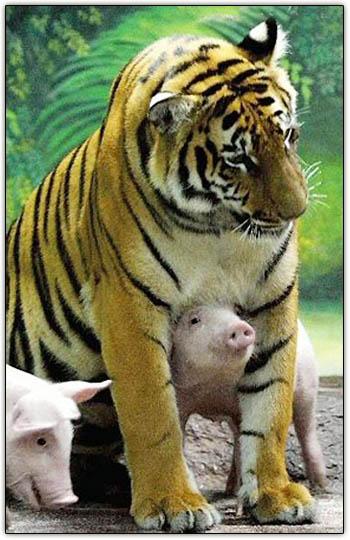 Tigerpiglets