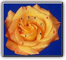 fibonacciflower.jpg