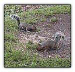 ringtailsquirrel