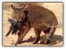 junglecat.jpg